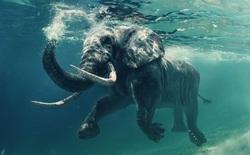 """Có thể bạn chưa biết: Loài voi cũng có thể sử dụng ngôn ngữ ký hiệu và """"bất tử"""" trước ung thư"""