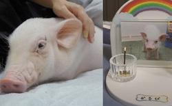 YouTuber Nhật đăng video gây sốc: Chăm sóc lợn con như thú cưng trong 100 ngày rồi làm thịt