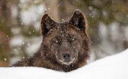 Bạn biết gì về loài sói?