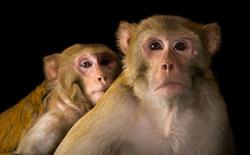 """Cảm giác """"cóng"""" không chỉ có ở con người: khỉ cũng bế tắc trước áp lực"""