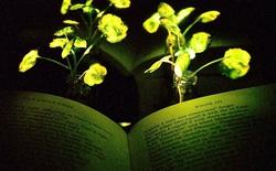 MIT tiếp tục thành công trong chế tạo cây phát sáng: mạnh gấp 10 lần trước đây, sạc được liên tục, tái chế được 60% chất lân quang