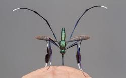 Đây là loài muỗi đẹp nhất thế giới, liệu có xứng đáng để mang giọt máu của bạn?