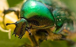Mỹ phát triển đội quân sinh học toàn bọ cánh cứng