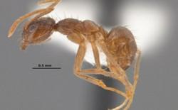 Nguy hiểm loài kiến điên thích ăn điện thoại