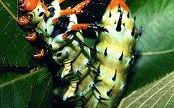 Những loài côn trùng có kích thước 'siêu khủng'