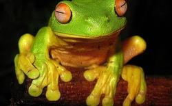 Những khả năng vô cùng đặc biệt của loài ếch (Phần II)