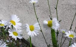 Phát hiện thực vật bị đột biến gen vì phóng xạ gần Fukushima