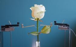 6 triệu USD cho bông hồng cyborg đầu tiên trên thế giới
