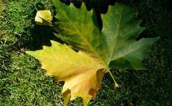 Vì sao lá cây lại chuyển màu vàng mỗi khi màu thu đến?