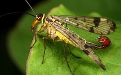 """10 loài côn trùng có """"gương mặt"""" đáng sợ nhất trên thế giới"""