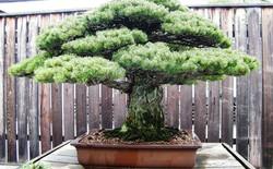 Cây bonsai Nhật Bản 390 tuổi sống sót sau vụ nổ bom nguyên tử