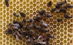 Boeing 747 hạ cánh khẩn cấp vì bị tấn công bởi... ong