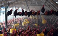 """Siêu vi khuẩn miễn nhiễm kháng sinh """"vượt biên"""" vào Châu Âu thông qua thịt gà"""