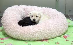 Hàn Quốc: Hôm nay là nhân bản chó, ngày mai là hồi sinh voi ma mút