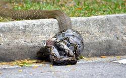 Video đại chiến gữa trăn và rắn hổ mang