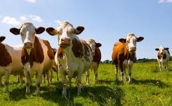 Choáng với phương pháp nuôi bò bằng nam châm
