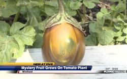 Định lừa đài truyền hình bằng quả lạ lai giữa dưa hấu và cà chua
