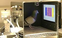 Chim bồ câu được huấn luyện để chuẩn đoán ung thư vú