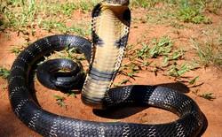 [Video] Điều gì sẽ xảy đến nếu bị rắn hổ mang cắn?