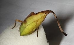 Sau khi biết về loài nhện ngụy trang này, bạn sẽ nghi ngờ tất cả những chiếc lá khô mà mình nhìn thấy