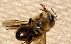 Lần theo dấu vết ký sinh trùng biến ong thành xác sống