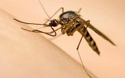 Muỗi vằn nuôi ở đảo Trí Nguyên có thể áp chế virus Zika