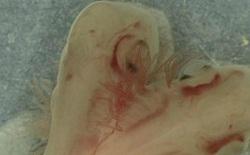 Phát hiện một phôi thai cá mập có 2 đầu đang phát triển trong phòng thí nghiệm
