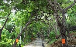 Loài cây độc đến nỗi đứng cạnh nó khi trời mưa cũng có thể bị mù