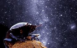 Loài bọ hung lăn phân không được sạch sẽ lắm này có bộ GPS tốt hơn cả loài người chúng ta