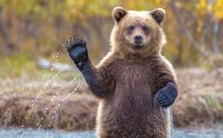 """Ai cũng biết hầu hết loài gấu đều ngủ đông, nhưng đố bạn chúng có """"đi nặng"""" khi ngủ không?"""