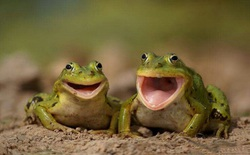 Khi không có tủ lạnh, người xưa đã dùng ếch để bảo quản sữa