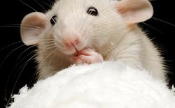 Sử dụng máu NGƯỜI trẻ tiêm lên CHUỘT già, các nhà khoa học cải thiện được thể lực của chuột