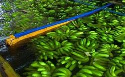 Tìm hiểu chất lỏng hô biến trái xanh thành trái chín