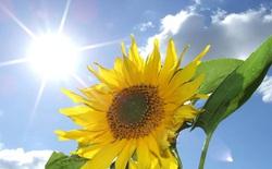 Vì sao hoa hướng dương thường quay về phía mặt trời?