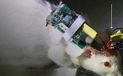 Trung Quốc: Biến chuột sống thành cyborg, trí tuệ tăng vượt trội