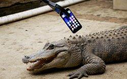 """Thanh niên rảnh rỗi mang iPhone 7 ra """"trêu"""" cá sấu và cái kết đắng lòng"""