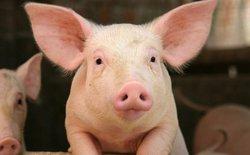 """Nghiên cứu lai tạo sinh vật """"mình lợn não người"""" của Mỹ gây tranh cãi lớn"""