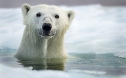 Đố bạn đọc bài viết này mà không nghĩ đến con gấu trắng
