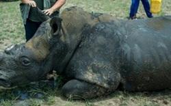 Tạo được cả sừng tê giác nhân tạo, biện pháp quá hay ngăn ngừa nạn săn bắn trộm