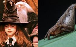 Phát hiện loài nhện mới có hình dáng y chang mũ phù thủy của Harry Potter