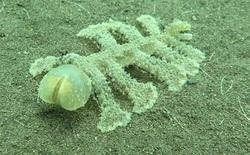 Con sên biển 13 chân kì lạ này cho ta thấy rằng biển sâu còn quá nhiều điều chúng ta chưa biết
