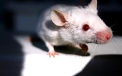 Ánh sáng chiếu vào não biến những con chuột nhút nhát thành bất khả chiến bại