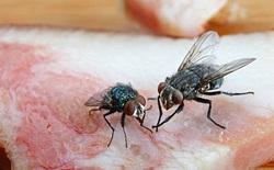 Không nên ăn thức ăn bị ruồi bâu, chân và cánh chúng chứa hàng trăm loài vi khuẩn từ phân và xác thối