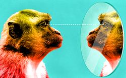 Những con khỉ được huấn luyện để có thể tự nhận ra bản thân trong gương