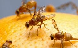 Chuyên gia lo ngại ruồi sẽ mang siêu vi khuẩn kháng kháng sinh từ Trung Quốc qua các nước Đông Nam Á