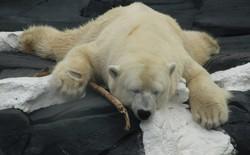 Gấu Bắc Cực chết vì thất tình