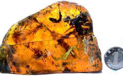 Phát hiện mẫu chim cổ đại trong hổ phách có tuổi thọ gần 100 triệu năm