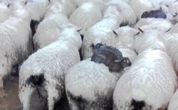 Chuyện lạ ở New Zealand: Thỏ biết nhảy lên lưng cừu để tránh lũ lụt