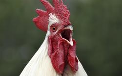 Các nhà khoa học Nhật Bản vừa lai tạo thành công giống gà đẻ ra thuốc chữa bệnh
