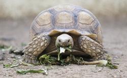 Bạn có biết: loài rùa sinh tồn qua mùa đông bằng cách... thở bằng mông
